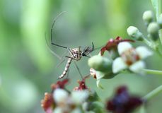 Male mosquito sitting on a sandal wood flower. A male mosquito sitting on a flower in wilderness Royalty Free Stock Images