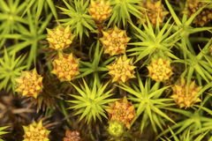 Male moss plants from New London, New Hampshire. Stock Photo
