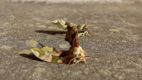 Male moth leaves female blown by wind. After mating tired Lime Hawk-moth female is blown by wind while male insect is going away stock video