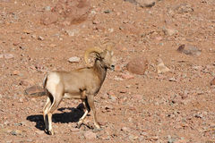 Male mouflon Stock Photo