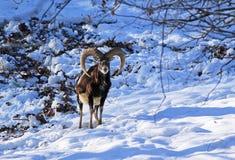 Mouflon in winter. Male mouflon with big horns in snow stock photo