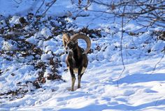 Mouflon in winter. Male mouflon with big horns standing in the snow royalty free stock photography
