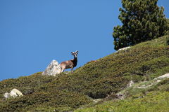 Male mouflon in Pyrenees Royalty Free Stock Images