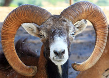 Male mouflon sheep Stock Photography