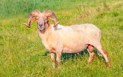 Male Mouflon sheep posing in a Dutch meadow. Proud male Mouflon sheep with large and  curved horns standing in grassland Royalty Free Stock Photography