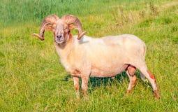 Free Male Mouflon Sheep Posing In A Dutch Meadow Royalty Free Stock Photography - 26045617