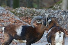 Male mouflons royalty free stock photo