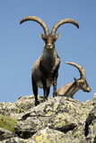 Male in the mountain. Forests gredos Stock Photography