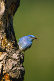 Male Mountain Bluebird. A male mountain bluebird next to tree nest cavity with food in beak Royalty Free Stock Image