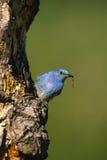 Male Mountain Bluebird Royalty Free Stock Image