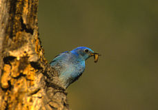 Male mountain Bluebird Royalty Free Stock Image