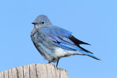 Male Mountain Bluebird Stock Photo