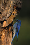 Male mountain Bluebird. A male mountain bluebird next to tree nest cavity Royalty Free Stock Images