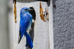Mountain Bluebird Clinging to its Weathered Wooden Nesting Box royalty free stock images