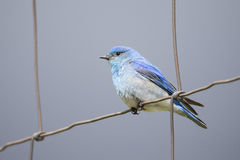 Male mountain bluebird on fence Royalty Free Stock Images