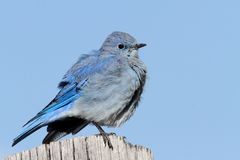 Male Mountain Bluebird Sialia currucoides. In Grand Tetons National Park on a post Stock Photos