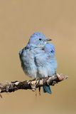 Male Mountain Bluebird Sialia currucoides. In Grand Tetons National Park in a tree Royalty Free Stock Photography