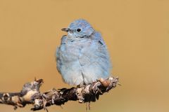 Male Mountain Bluebird Sialia currucoides. In Grand Tetons National Park in a tree Royalty Free Stock Images