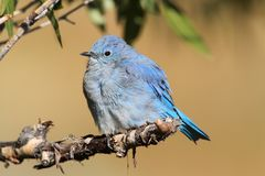 Male Mountain Bluebird & x28;Sialia currucoides& x29;. Male Mountain Bluebird & x28;Sialia currucoides& x29; in Grand Tetons National Park in a tree Stock Image