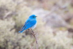 Male Mountain Bluebird, Yellowstone National Park Stock Photos