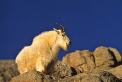 Male Mountain Goat Royalty Free Stock Photos