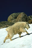 Male Mountain Goat. A male mountain goat walking throung snow Royalty Free Stock Photography