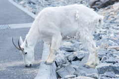 Male Mountain Goat Royalty Free Stock Images
