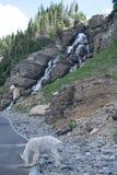 Male Mountain Goat Stock Photo