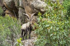 Mountain Goat waching me royalty free stock photos
