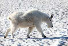 A male mountain goat striding across the snow Stock Image