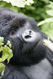 Male  Mountain Gorilla Royalty Free Stock Photo