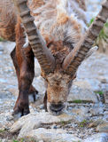 Male mountain Ibex Royalty Free Stock Photos