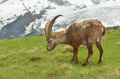 Male mountain ibex Stock Photos
