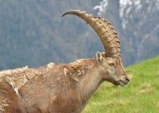 Male Mountain Ibex Royalty Free Stock Photos