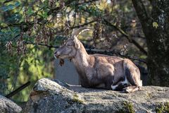 Male mountain ibex or capra ibex sitting on a rock stock photo