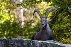 Male mountain ibex or capra ibex sitting on a rock royalty free stock photos