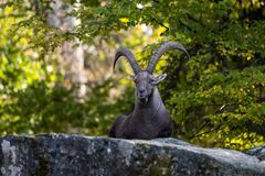 Male mountain ibex or capra ibex sitting on a rock royalty free stock image