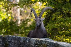 Male mountain ibex or capra ibex sitting on a rock stock images