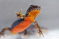 A male mountain salamander Royalty Free Stock Photos