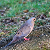 Male mourning dove. Side view of male mourning dove on tree root stock photo