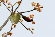 Male Mrs.Gould's Sunbird (Aethopyga gouldiae) Stock Photos