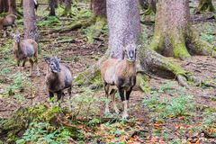 Male muflon in the forest. A male muflon in the forest stock image