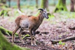 Male muflon in the forest. A male muflon in the forest royalty free stock images