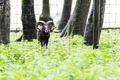 Male muflon in the forest Stock Images