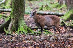 Male muflon in the forest. A male muflon in the forest stock images