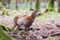 Male muflon in the forest. A male muflon in the forest royalty free stock image