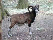 Male Muflon stock image