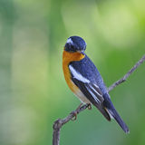 Male Mugimaki Flycatcher Stock Images