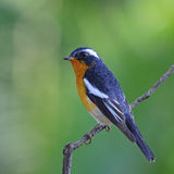 Male Mugimaki Flycatcher Royalty Free Stock Images