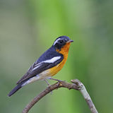 Male Mugimaki Flycatcher Royalty Free Stock Photography